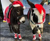 Donkeys at a Christmas event dressed in their Santa hats.